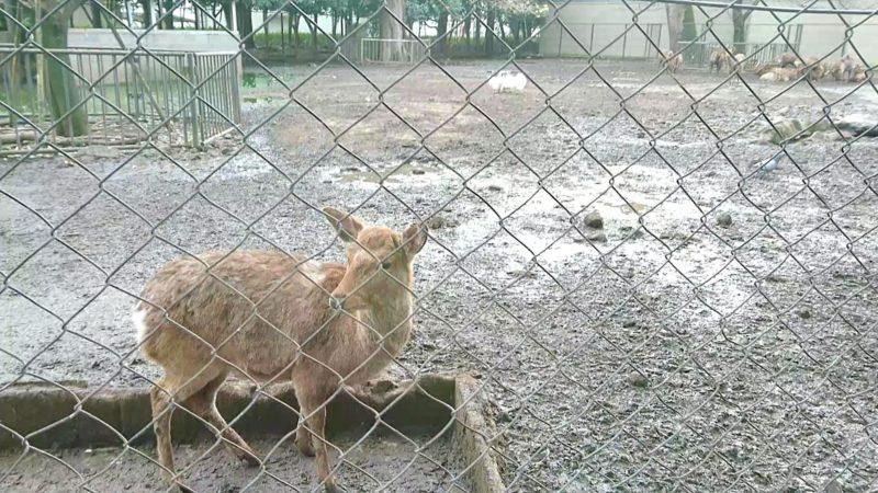 三嶋大社の神鹿園にいる鹿