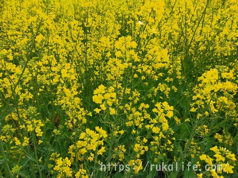 幸手権現堂の菜の花