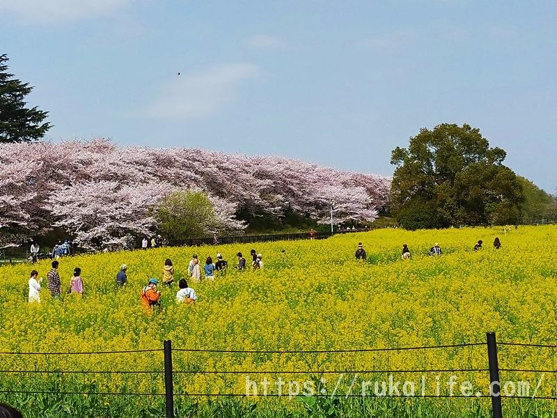 幸手権現堂の桜と菜の花
